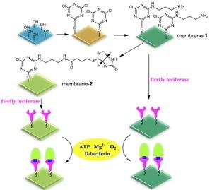 PVA-co-PE纳米纤维膜表面固定虫荧光素酶